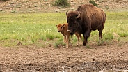 American bison, Bovinae, Buffalo