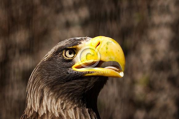 steller's eagle