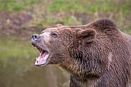 Grizzly Bear - Male