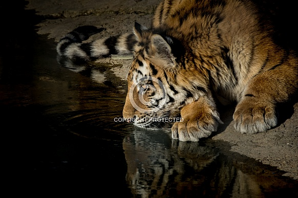 Tiger by water