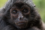 Spider Monkey close up