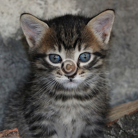 Shorthair Domestic Kitten