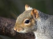 Grey Squirrel face