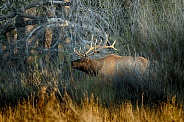 Bull elk in late evening light