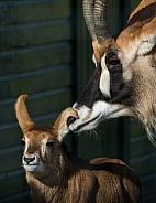 Roan Antelope Family