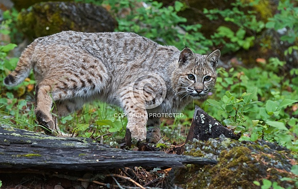 A Young Bobcat in Montana