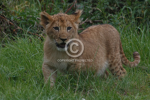 Lion Cub Standing Up In Grass