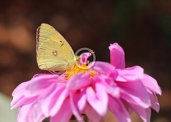 Butterfly On Pink Dahlia Flower
