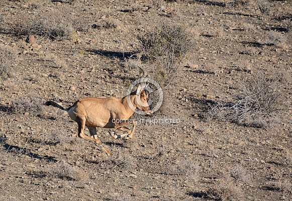 Red Hartebeest galloping