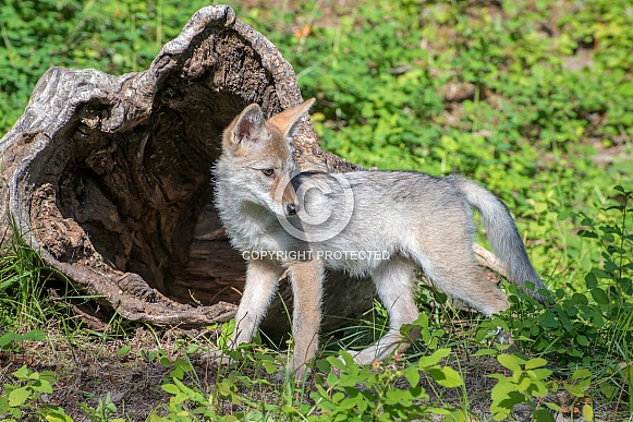 Coyote Pup outside Hollow Log