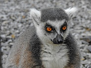 Black & White-tailed Lemur