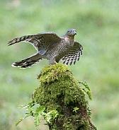 Sparrowhawk, Female