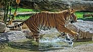 Tiger Splashes through a Stream