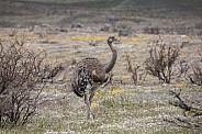 Flightless Rhea (Rhea americana)