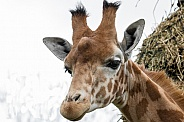 Young Male Kordofan Giraffe Head Shot