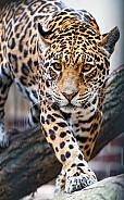 South American Jaguar