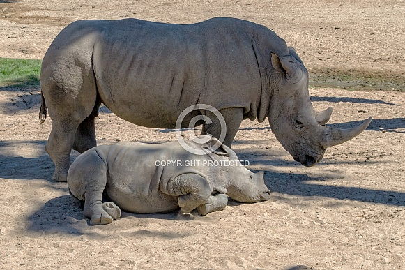 Southern White Rhinoceros and Calf