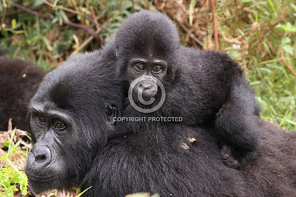 Mountain Gorillas (wild)