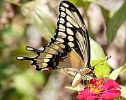 Giant Swallowtail feeding on Zinnia flower