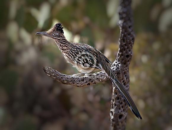 Road Runner Geococcyx californianus