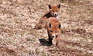 Red fox welp