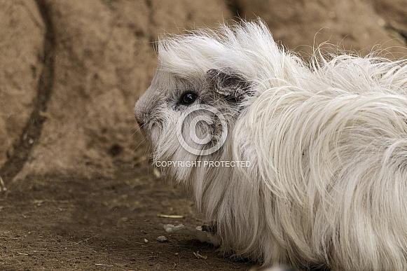 Guinea Pig Fluffy Side Profile