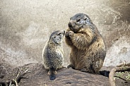 Alpine marmots family