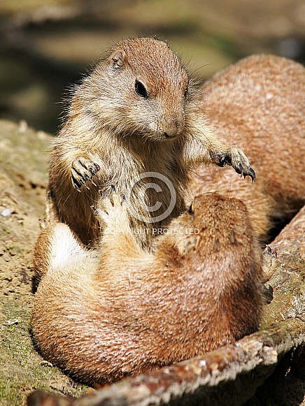 Playing prairie dogs