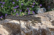 Mexican West Coast Rattlesnake