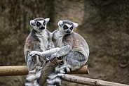 Ring-Tailed Lemur Pair