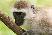 Vervet Monkey portrait