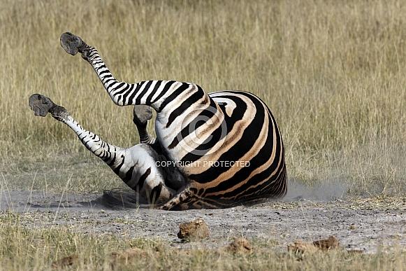 Zebra taking a dust bath - Botswana