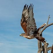 Ferruginous Hawk Taking Off