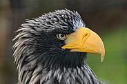 Stellars Sea Eagle