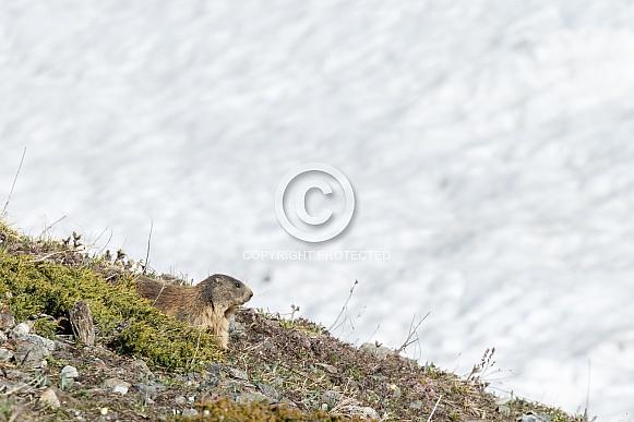 The alpine marmot