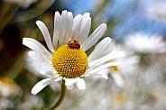 Oxeye-Ladybug