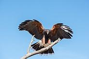Harris's Hawk in Flight #5