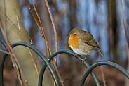 European Robin - England