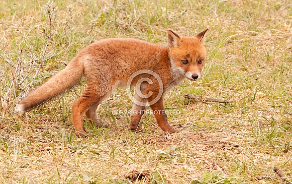 Red fox vulpes young one