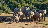Family Soccer Match. African Elephant Group.