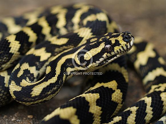 Jungle Carpet Python, Morelia chenyei