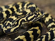 Jungle Carpet Python, Morelia chenyei