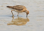 Juvenile Ruff with Reflection