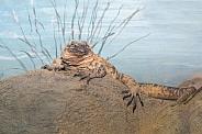 San Esteban Island Chuckwalla (Female)