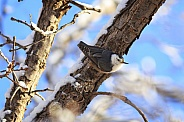 Winter White-breasted Nuthatch
