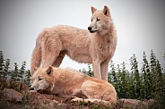 Two Arctic Wolves Together