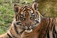 Sumatran Tiger Face Shot Close Up
