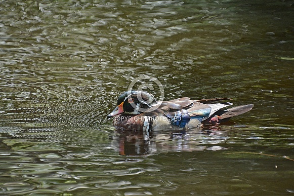 North American Wood Duck, Drake