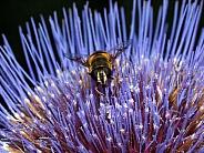 Hoverfly on purple flower