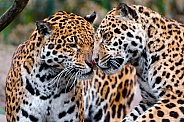 Pair of Jaguars
